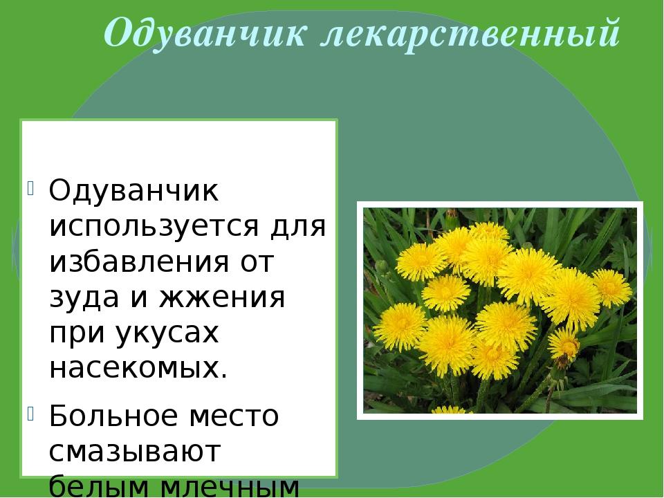 Одуванчик лекарственный Одуванчик используется для избавления от зуда и жжени...