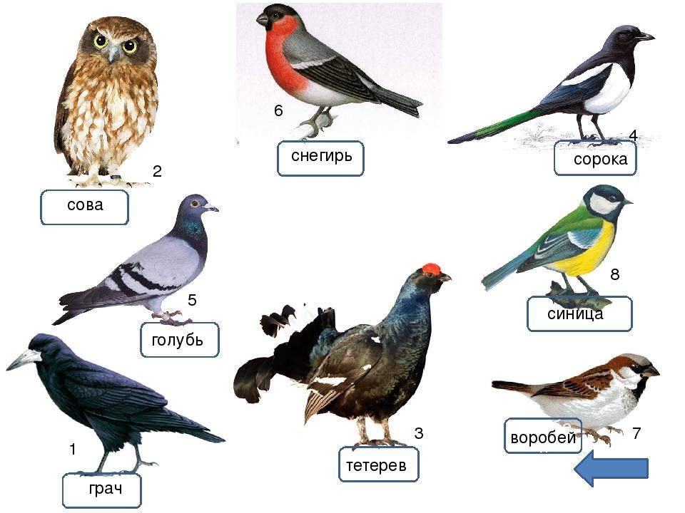 Картинки птиц воробей синица снегирь