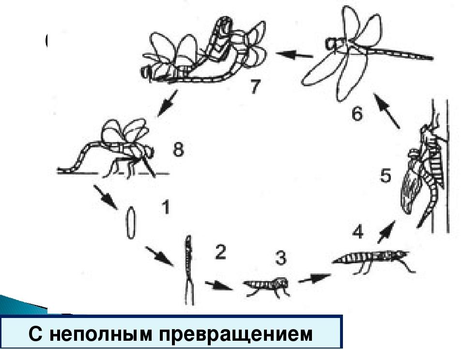 Схема размножения стрекозы рисунок