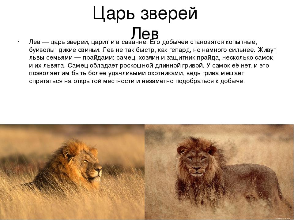 львы фото и описание отличное