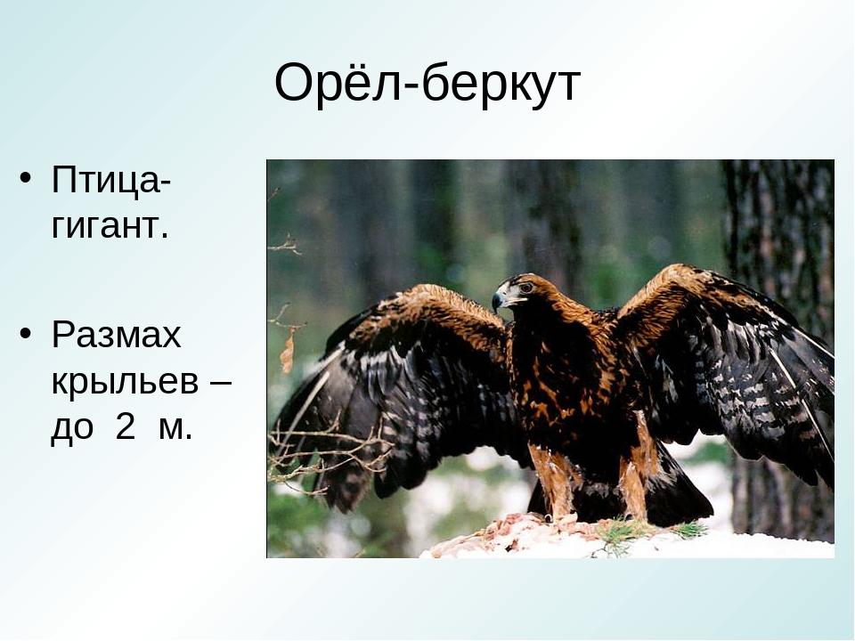 Беркут размах крыльев