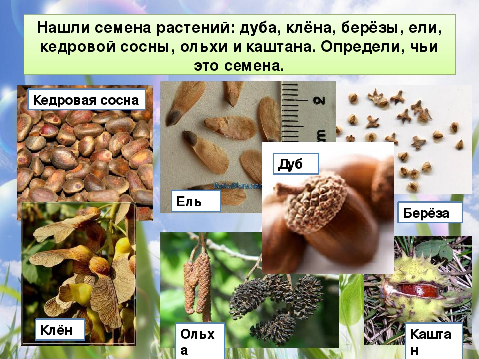 картинки к игре семян желаю