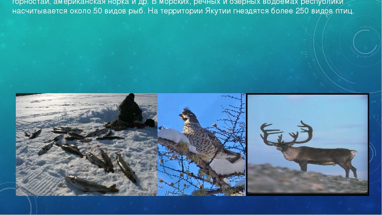 В Якутии необыкновенно богатая фауна. Здесь водятся морж, нерпа, тюлень, белы...