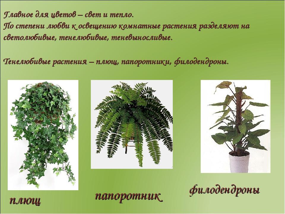 Светолюбивые комнатные растения названия и фото