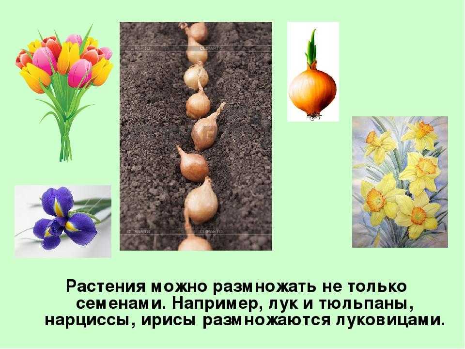 Цветы размножающиеся клубнями
