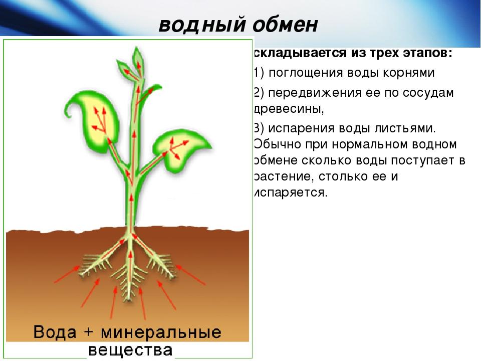 уже говорите последовательность восходящего пути воды в растении неё канале можно