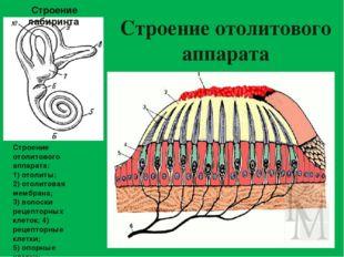 Строение отолитового аппарата Строение отолитового аппарата: 1) отолиты; 2) о