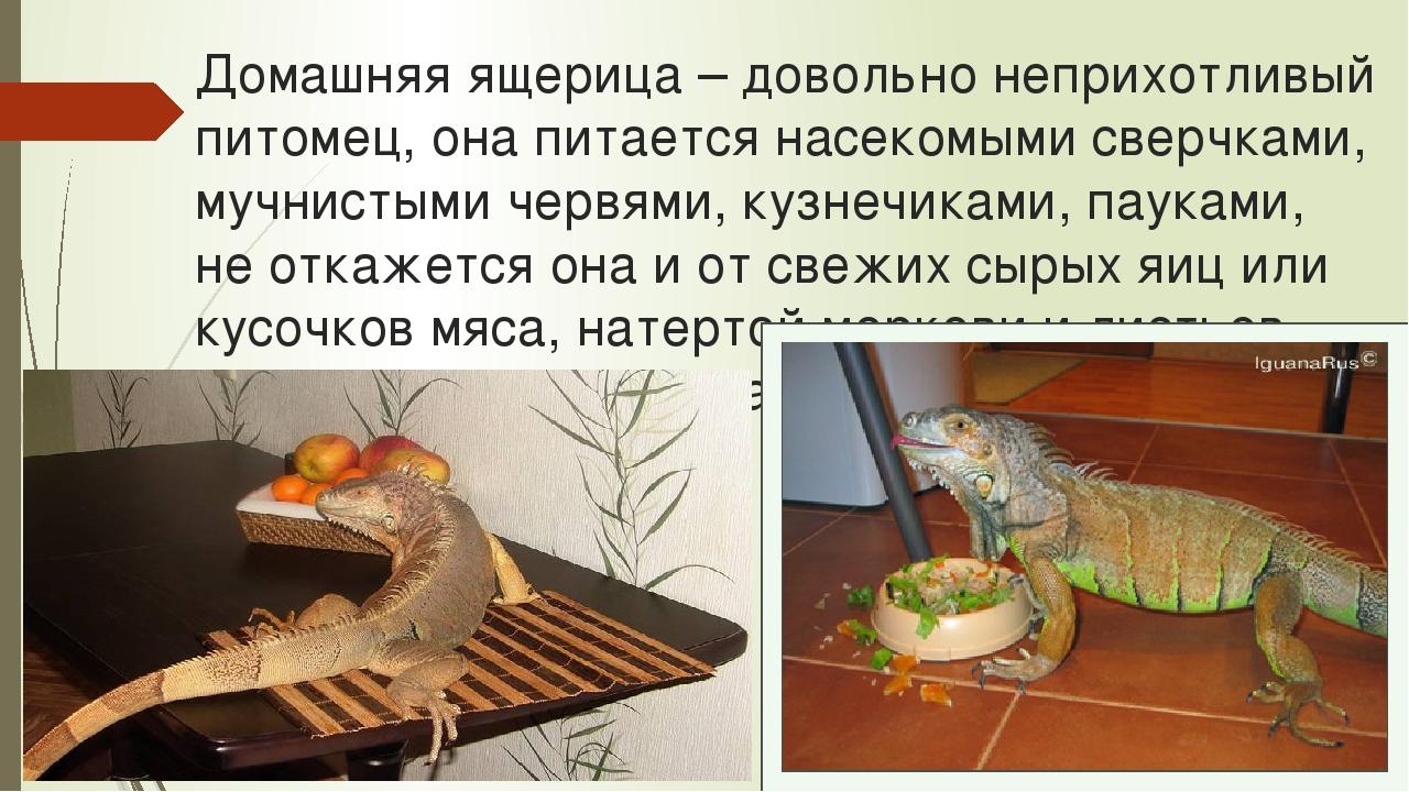 Чем можно кормить ящерицу в домашних условиях 47