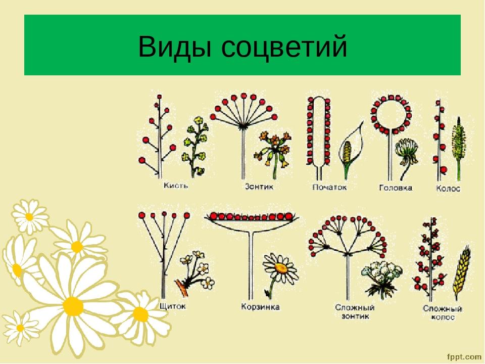 картинки все виды соцветий