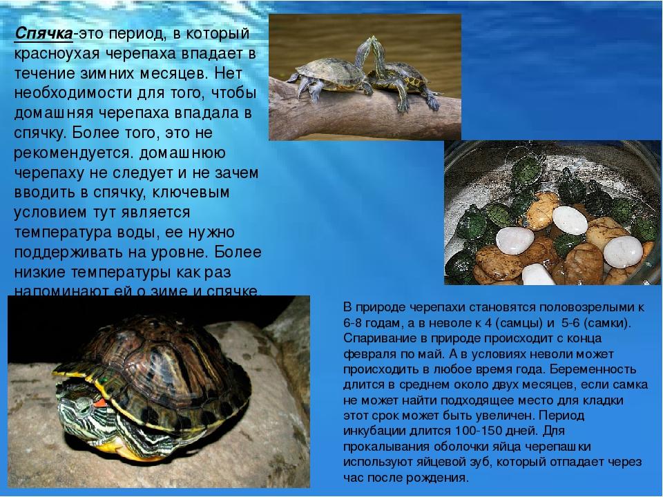 Спячка в домашних условиях у сухопутных черепах  85