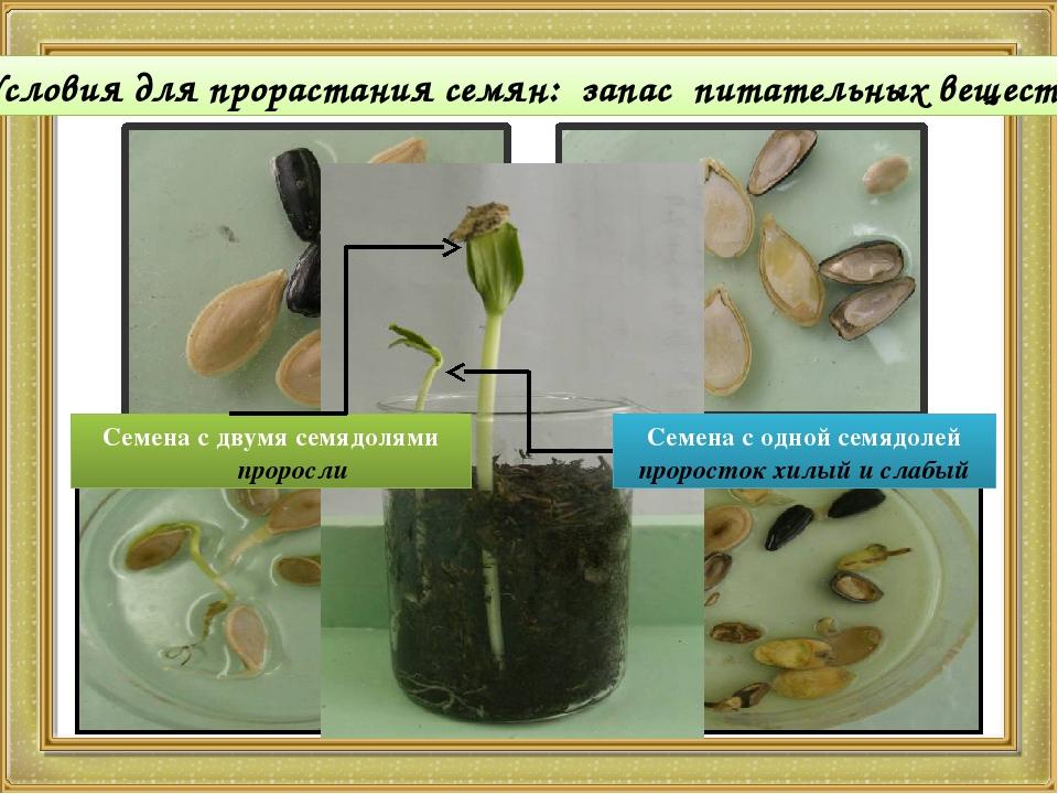 картинки на тему условия прорастания семян отсутствие