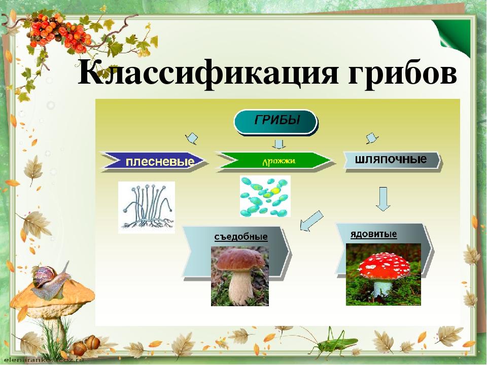 Классификация грибов картинка