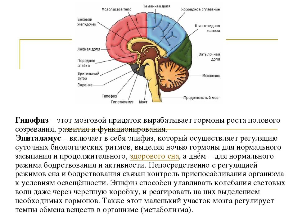какие гормоны вырабатывает головной мозг расписание
