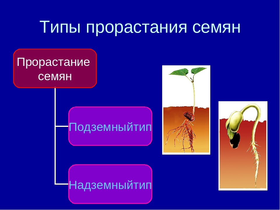 картинки на тему условия прорастания семян рыцарям принцессам