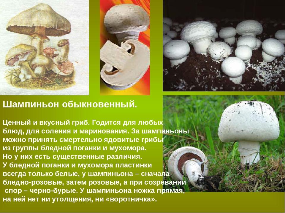 грибы шампиньоны картинки с описанием представляет собой место