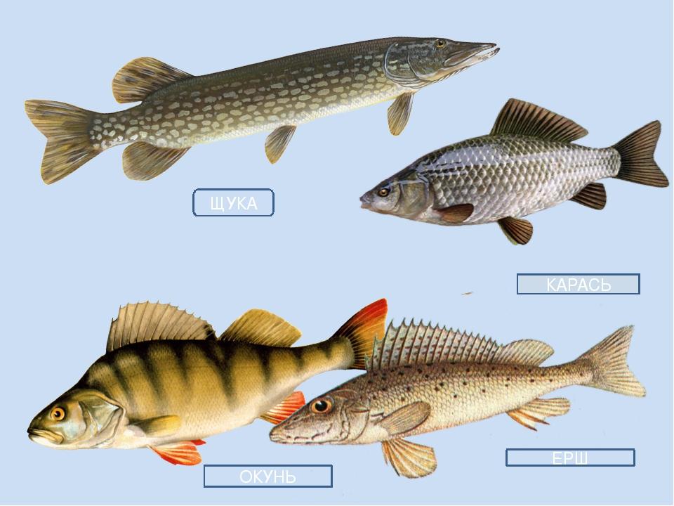 картинки рыб окуня щуки его