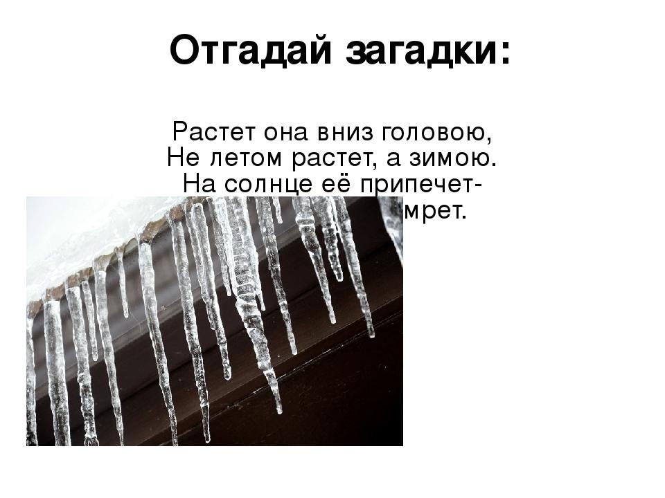 Отгадай загадки: Растет она вниз головою, Не летом растет, а зимою. На солнце...