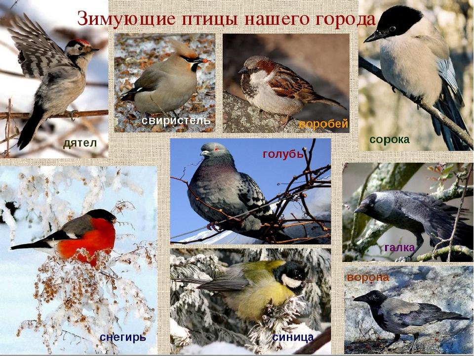 Птицы которые зимуют в беларуси картинки можно влюбиться