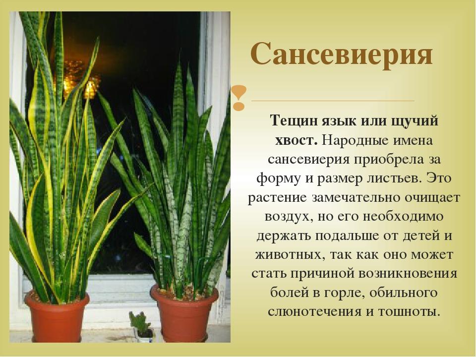 Тещин язык цветок можно дома держать