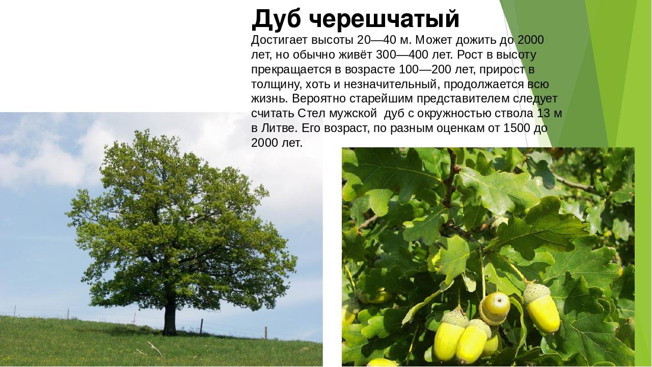 мечта дуб дерево фото и описание этом