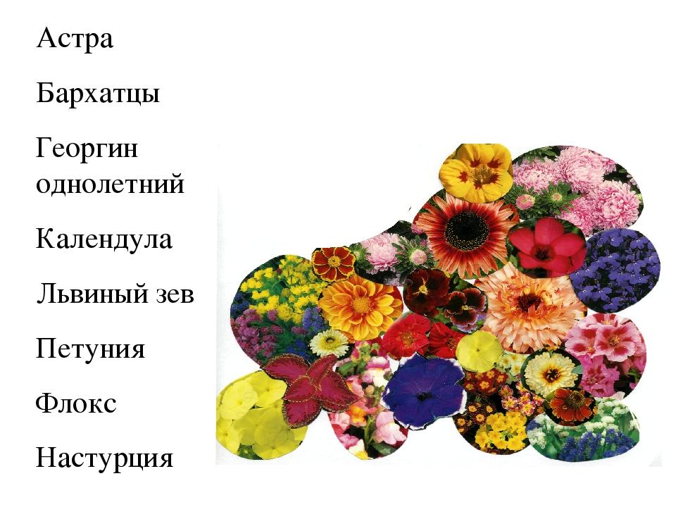 Астра Бархатцы Георгин однолетний Календула Львиный зев Петуния Флокс Настурция