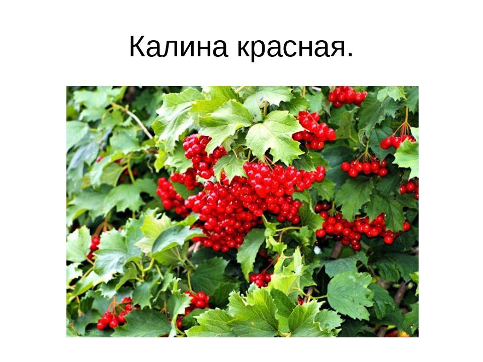 Калина красная.