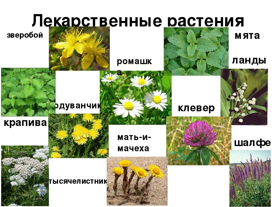 квартиры фото лекарственных растений с названиями и описанием договорились, что