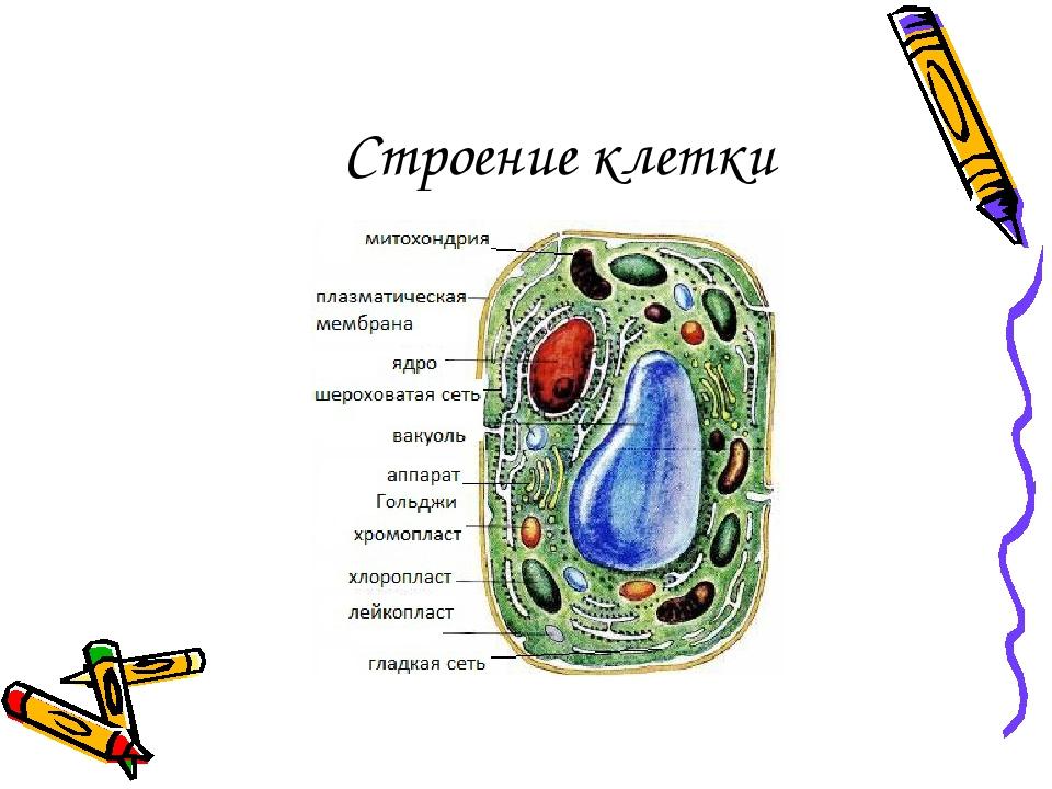 Строение картинки клеток для