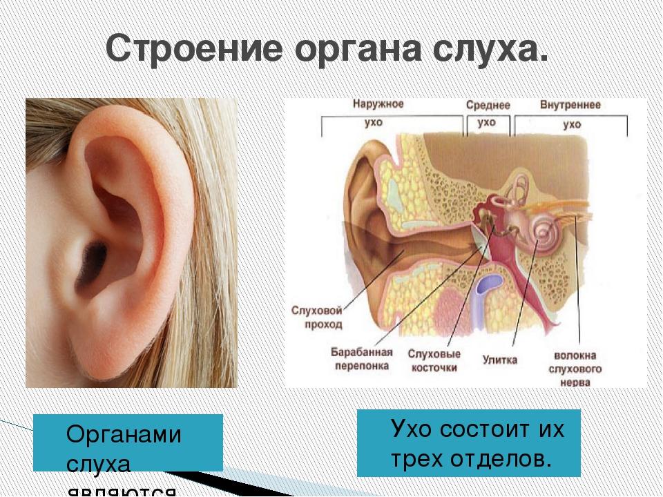 Строение уха человека картинки для детей