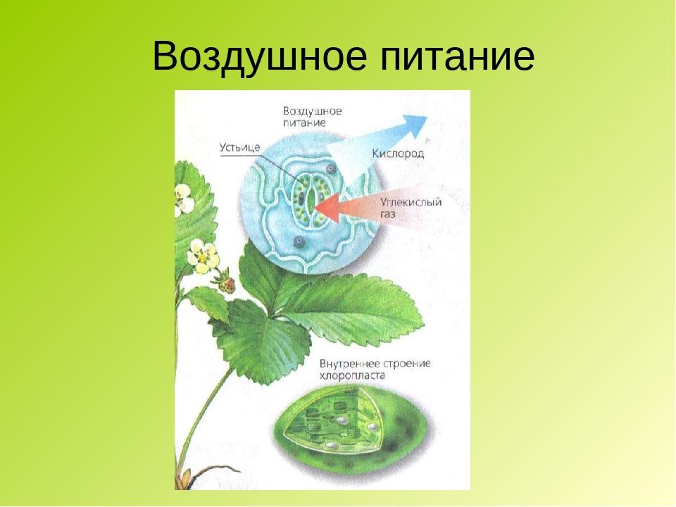 доклад воздушное питание фотосинтез зелень