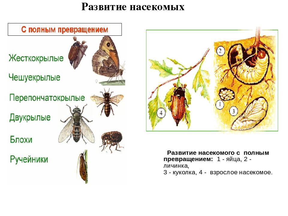 Картинки развитие насекомых с полным превращением