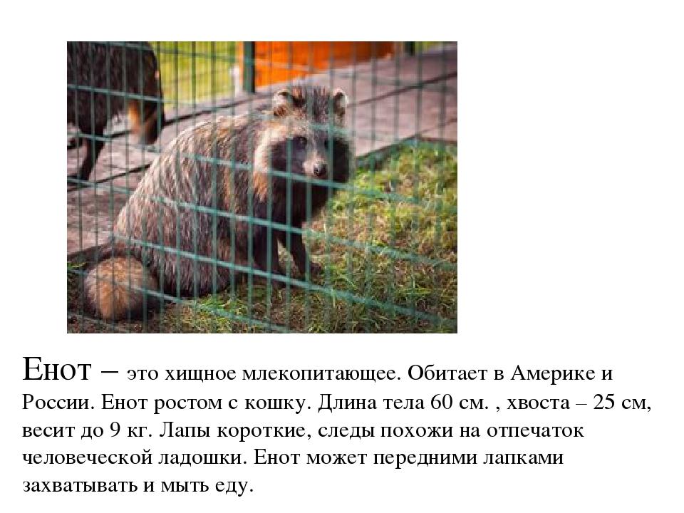 Где водятся еноты в россии