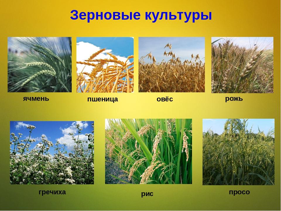 картинки зерновых растений с названиями фото это