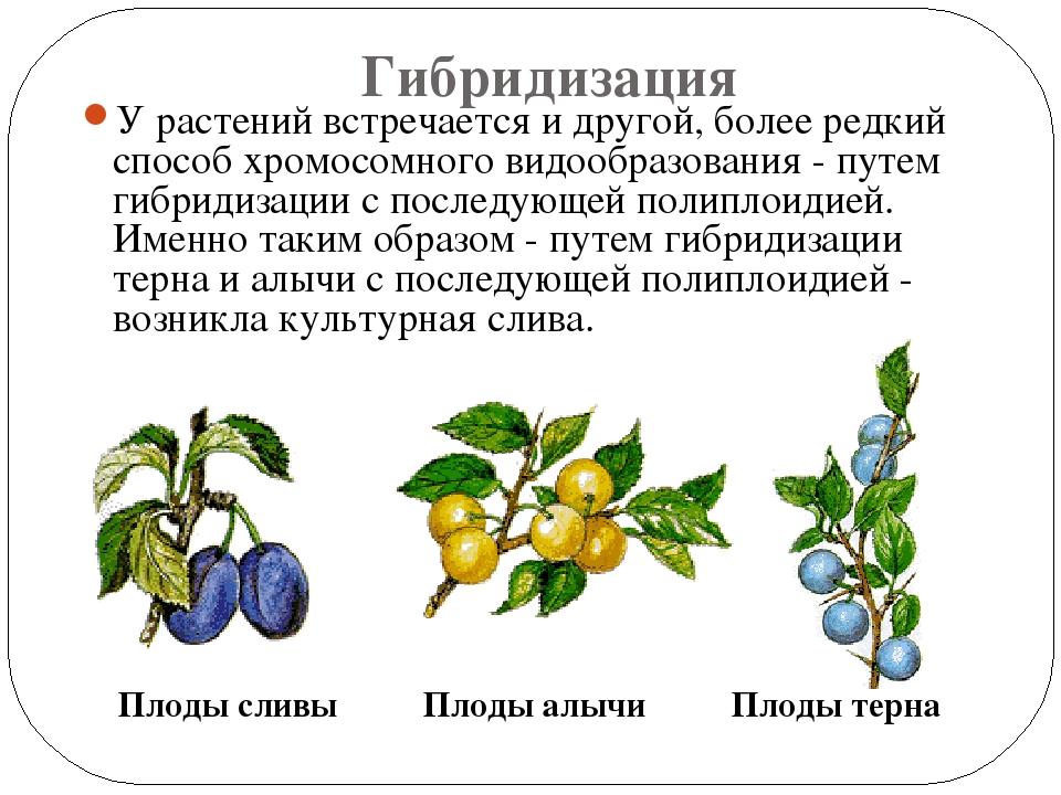 Растение омской области картинки лаппеенранте, роду