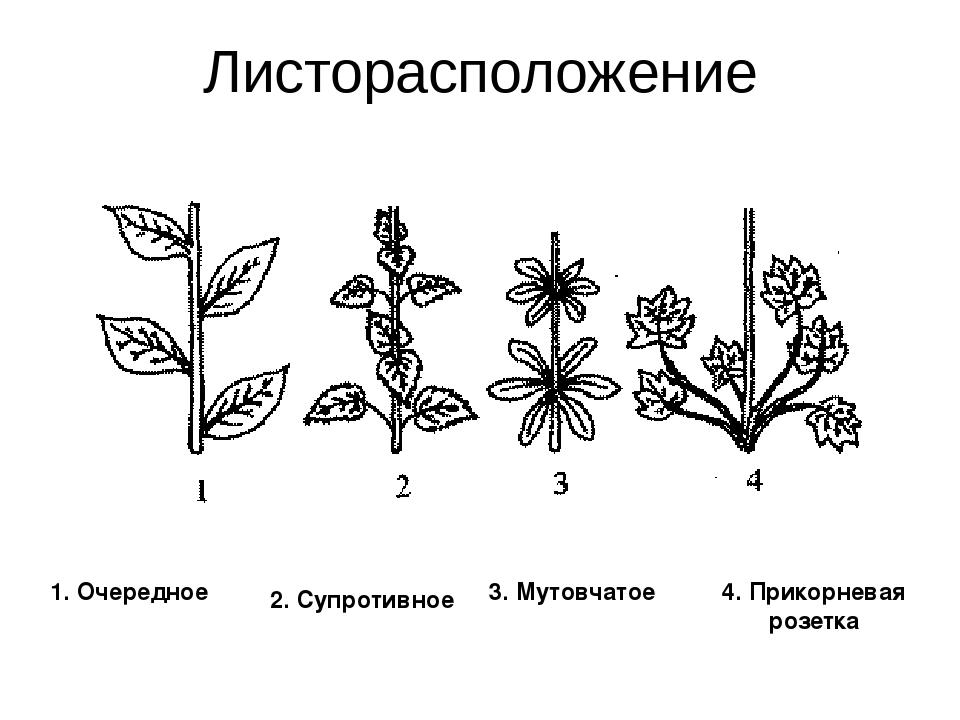 Листорасположение у растений в картинках защитное