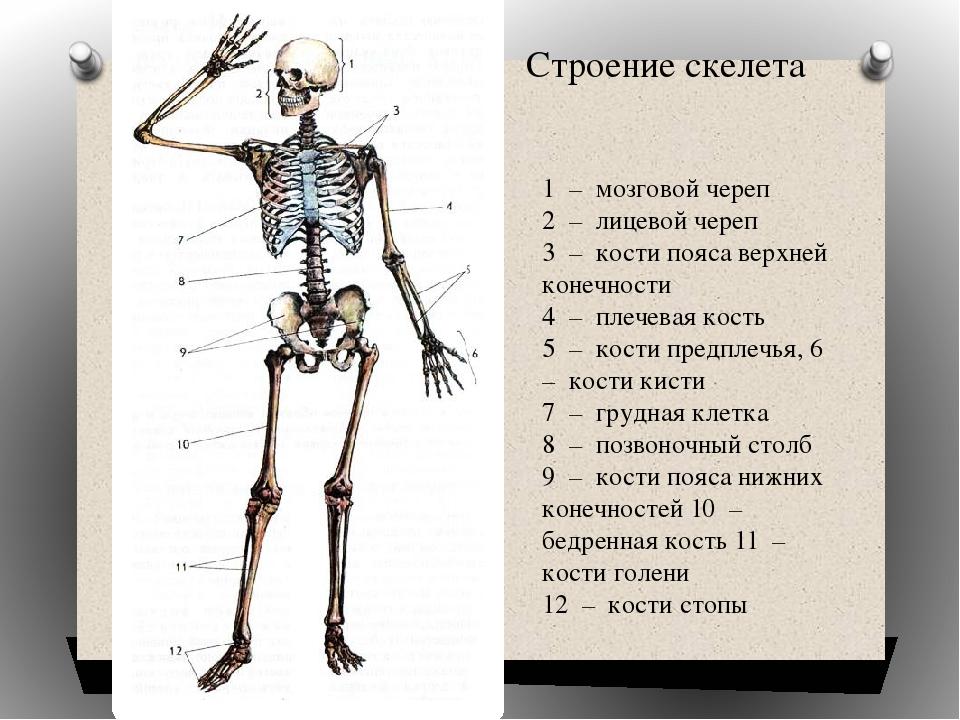 ведь мать костная система с картинками могут разместиться горловине