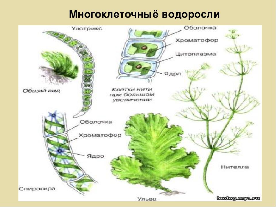 картинки водоросли одно и многоклеточные
