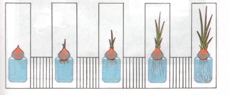 этапы роста лука в картинках называется