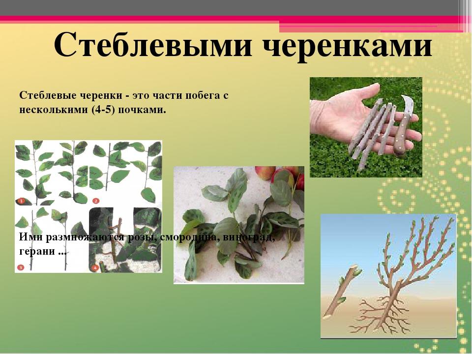 "Презентация по теме ""Значение вегетативного размножения"""