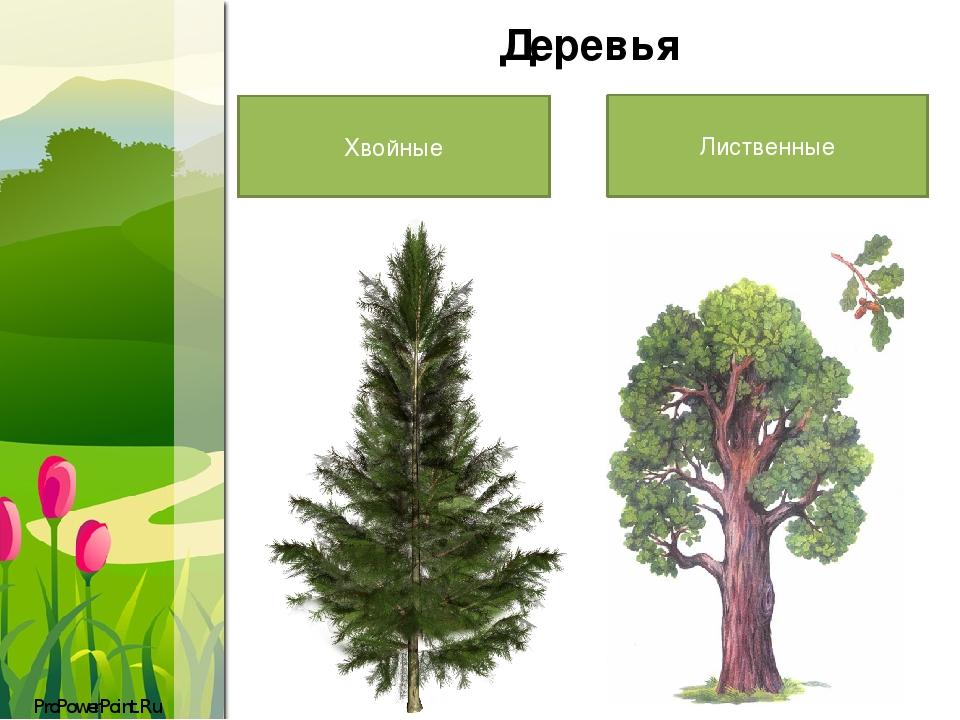 Хвойные и лиственные деревья картинка