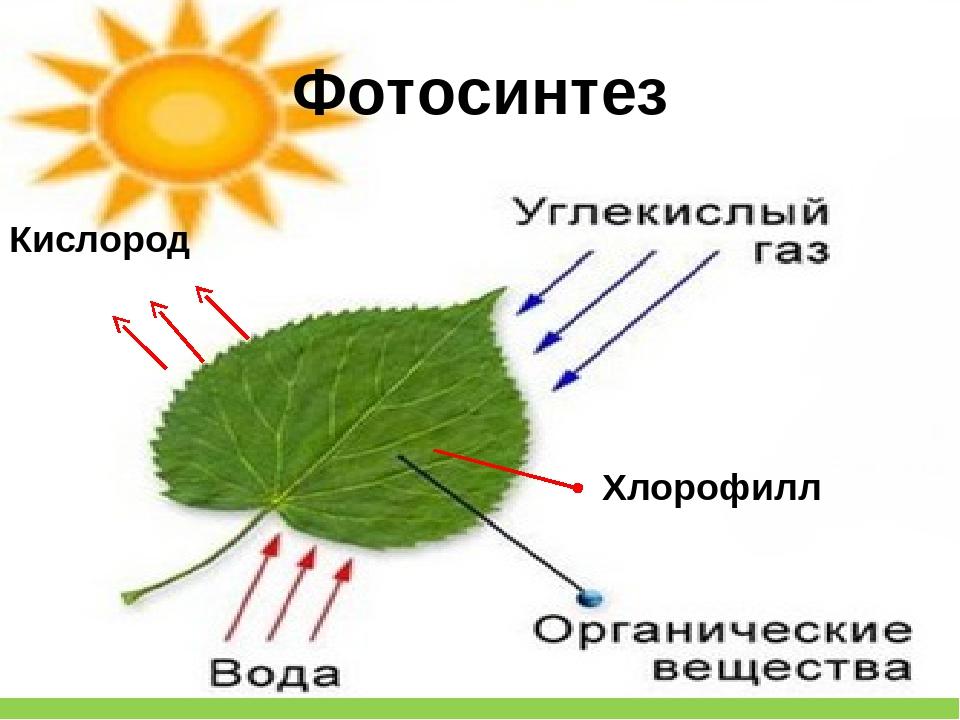 в каких частях растения происходит фотосинтез государство соблазна, соблазна