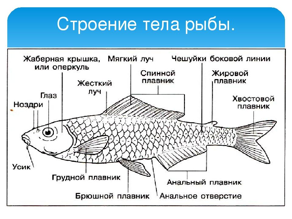 картинка части рыбы баре