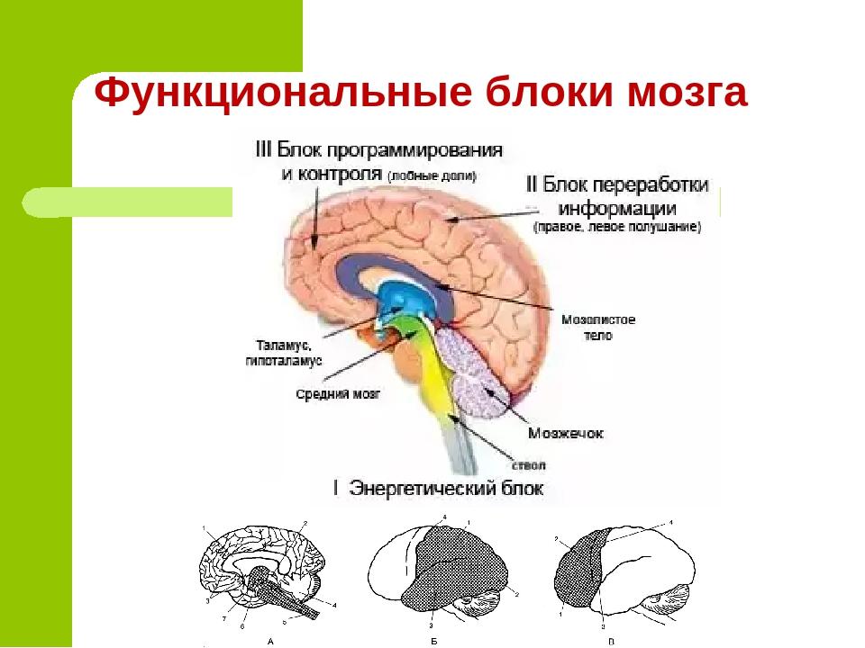 три блока мозга картинка своего дела