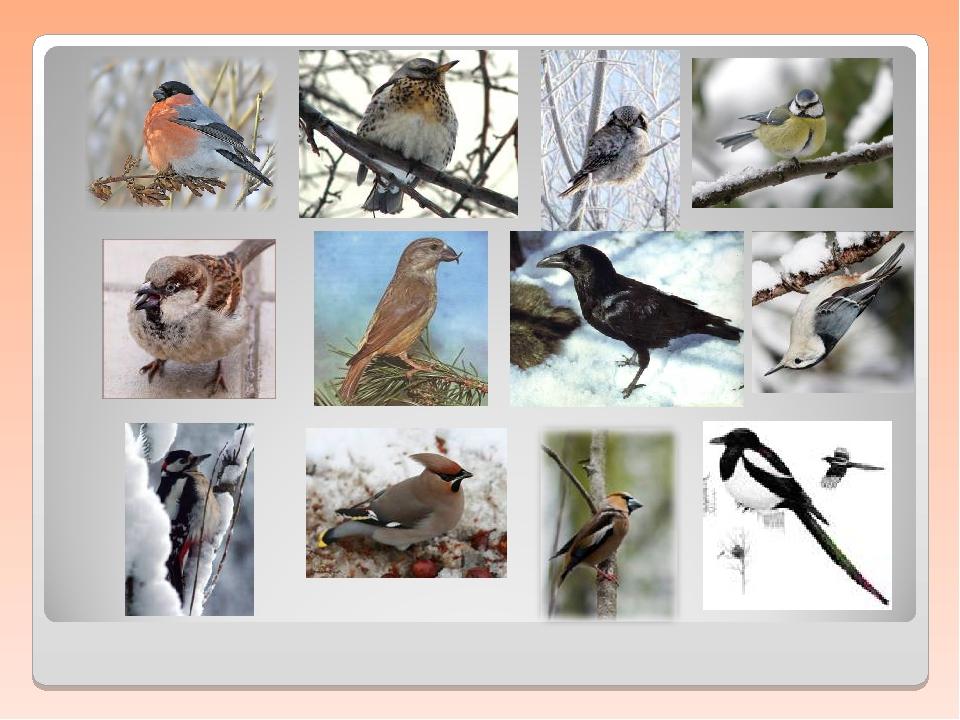 ходили птицы краснодарского края презентация сорок лет