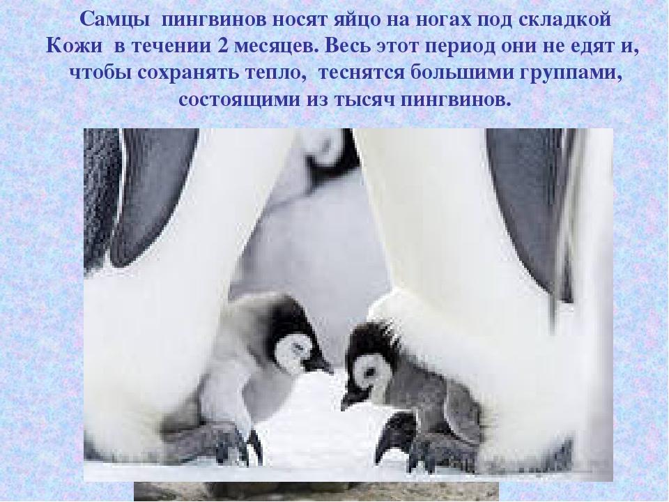 Самцы пингвинов носят яйцо на ногах под складкой Кожи в течении 2 месяцев. Ве...