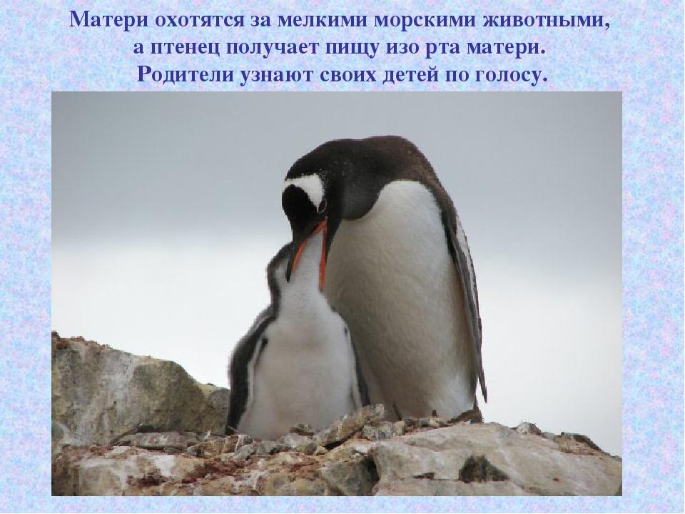 Матери охотятся за мелкими морскими животными, а птенец получает пищу изо рта...