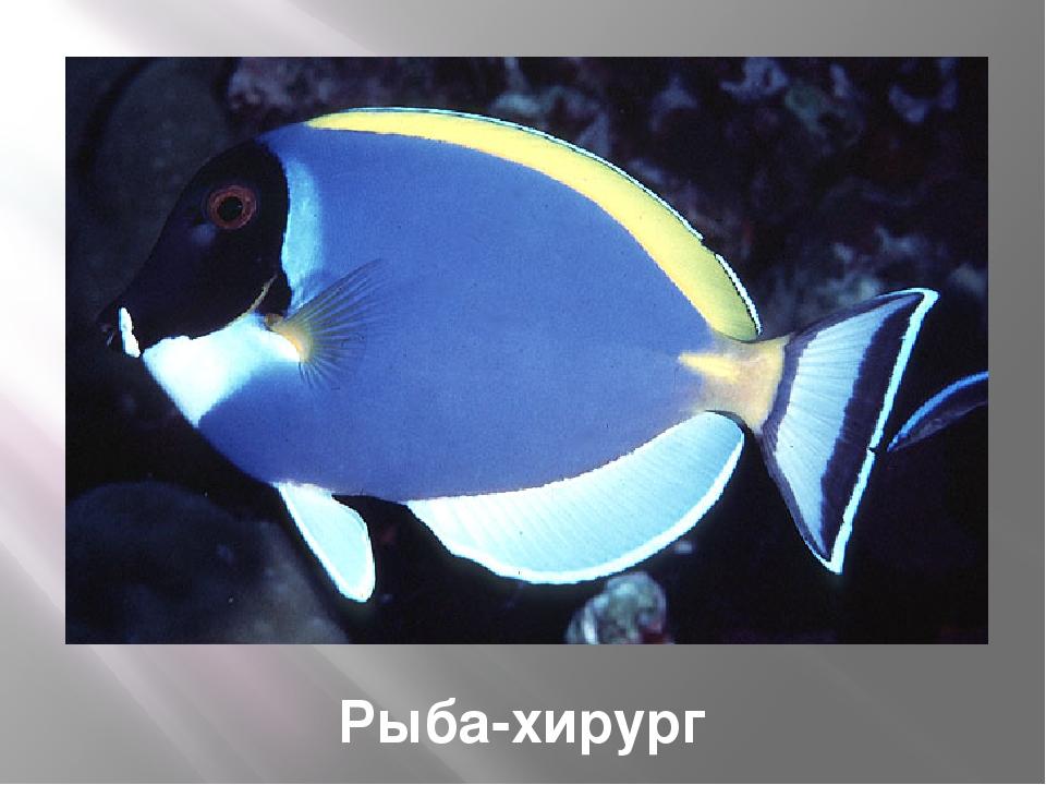 Рыба ястреб