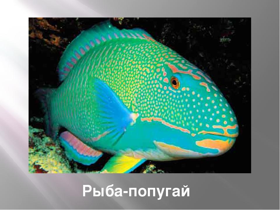 Рыба-ангел Interbaby: щетинозубы