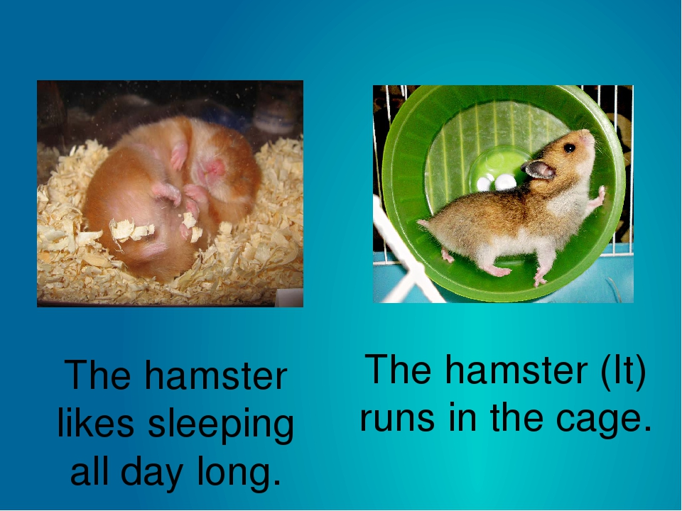 The hamster likes sleeping all day long. The hamster (It) runs in the cage.