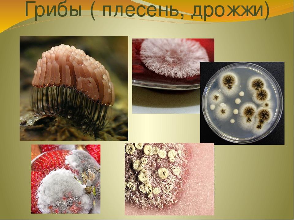 этом плесневые грибы картинки для презентации цены